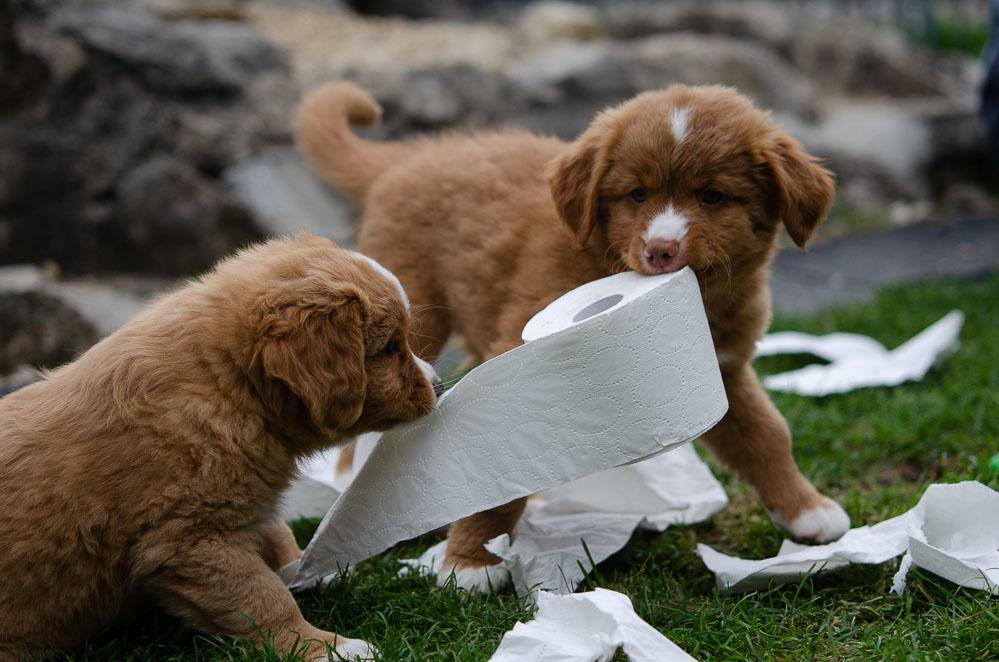 Eine tolle Möglichkeit zur Beschäftigung - auch bei grossen Tollern beliebt - Toilettenpapier.