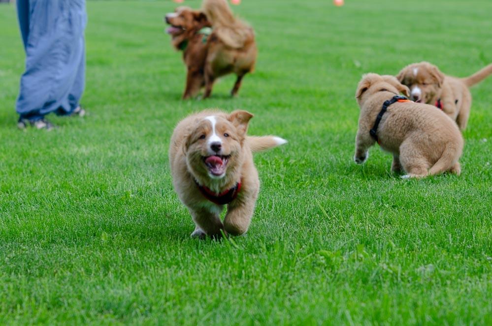 Toller Welpe rennt über den Hundeplatz auf die Kamera zu.